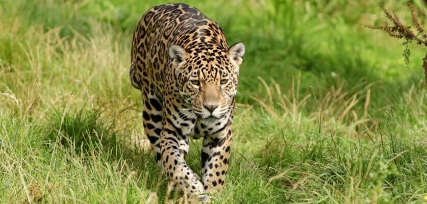 jaguar opleiding sjamanistisch healer
